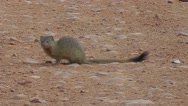 Stock Video Footage of Banded Mongoose sitting on the ground looking around