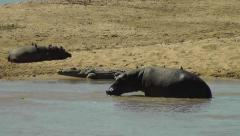 Hippo moving around in water with another hippo and a crocodile on the edge Stock Footage