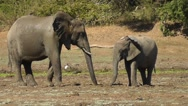 Stock Video Footage of Two elephants feeding opposite to each other, birds flying past