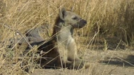 Stock Video Footage of Spotted Hyena lying on the ground, looking around