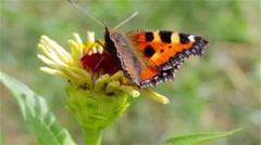 Small tortoiseshell butterfly - stock footage