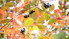 Aronia autumn on a sunny day Stock Footage