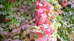 Colorful autumn wild grape leaves Stock Footage