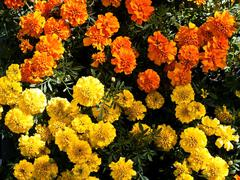 Tagetes Stock Photos