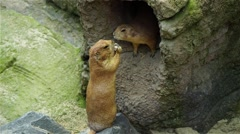 Two prairie dogs at burrow Stock Footage