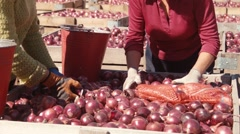 Women are gaining onions in buckets - stock footage