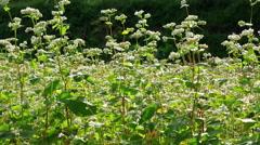 Field of buckwheat. - stock footage