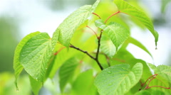 Green leafs in the rain. - stock footage