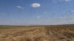 Stock Video Footage of Locusts destroy crops