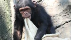 Young Chimp Playing with Blanket - stock footage