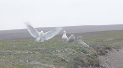 Anxious parents. Pair of white Arctic gull zealously guarded by two Chicks-Teens Stock Footage