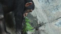 Stock Video Footage of Young Chimpanzee with Leaves in Mouth