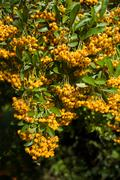 Sea buckthorn branch, close-up (Hippophae rhamnoides) Stock Photos