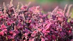 Purple amaranth on low wind Stock Footage