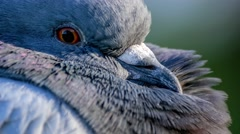 Extreme closeup of beautiful pigeon with feathers - stock footage