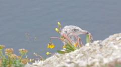 Portrait juv glaucous gulls with  Arctic flowering dandelions and Rhodiola rosea Stock Footage