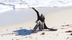 Australasian darter or Australian darter (anhinga novaehollandiae) drying on be Stock Footage