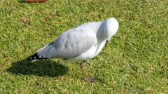 Young seagull looking around and cleaning himself on grass Stock Footage