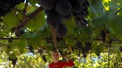 Stock Video Footage of Beautiful blonde girl ten years of eating a large dark blue grapes. vineyard