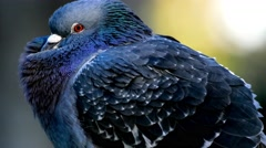 Vibrant blue pigeon in 4K Stock Footage