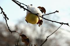 The apple on the tree covered with snow Stock Photos