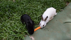 Rabbit eating carrots. Stock Footage