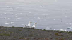 Pair of icy glaucos gulls amid drifting ice. Novaya Zemlya archipelago. Stock Footage