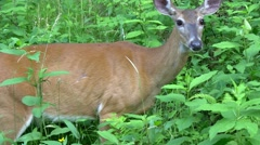 deer eating and swallowing - stock footage