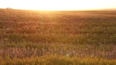 A golden sun set shot of a crop being harvested - stock footage