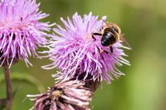 Honey bee on a purple flower Stock Photos