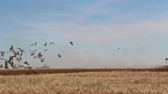 A large flock of birds fly over a crop in Saskatchewan Stock Footage