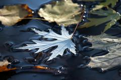 Autumn leaf lies in a puddle Stock Photos