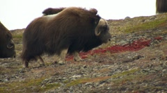 Bull Musk Oxen and Herd Grazing in Tundra by Arctic Circle Stock Footage