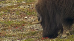 Closeup of Arctic Musk Ox Grazing in Windy Weather - stock footage