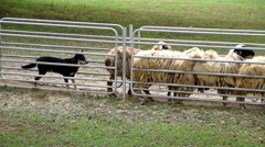 Sheep guided by dog and shepherd Stock Footage