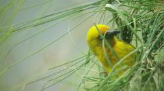 6K R3D - Cape Weaver - building a nest 1, threading grass, close shot. Bird 4k Stock Footage
