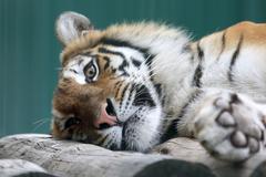 Stock Photo of Amur tiger resting on a tree closeup