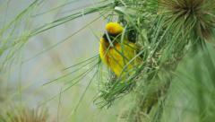 6K R3D - Cape Weaver - building a nest 0, arrives with piece of grass. Africa Stock Footage
