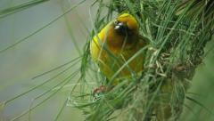 6K R3D - Cape Weaver - building a nest 4, threading grass, close shot. Bird 4K Stock Footage