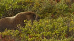 Musk Ox Bull in Walking Through Brush in Tundra in Fall Stock Footage