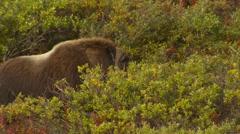 Musk Ox Bull in Walking Through Brush in Tundra in Fall Stock Footage