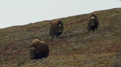 Herd of Musk Ox in Alaska Tundra in Fall on Windy Day Stock Footage