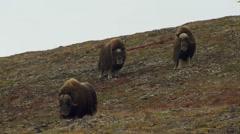 Herd of Musk Ox in Alaska Tundra in Fall on Windy Day Stock Footage