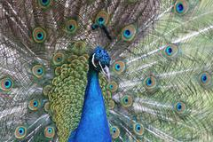 portrait of a peacock closeup on background of his expanded tail - stock photo