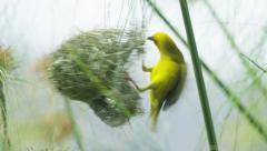 6K R3D - Cape Weaver - destroying a nest 6, pulling strands, flies away. Bird 4K Stock Footage
