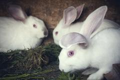 White rabbits in a hutch - stock photo
