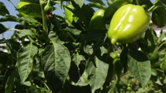 Stock Video Footage of Growing Green Paprika in the Garden