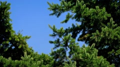 Pine Tree In Breeze On Sunny Day Stock Footage