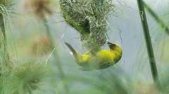 6K R3D - Cape Weaver - destroying a nest 7, hanging under, pulling strands. 4K Stock Footage