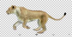 Lioness runs Stock Footage